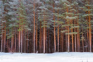 Winter snowy pine forest Narva Bay