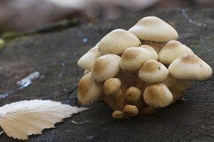 Pholiota alnicola mushrooms