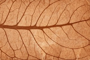 Sepia Leaf Veins