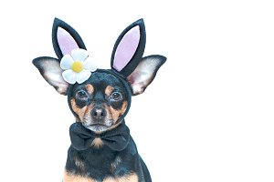 Dog in rabbit ears, easter theme