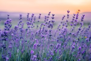 Lavender Field in the summer, natura