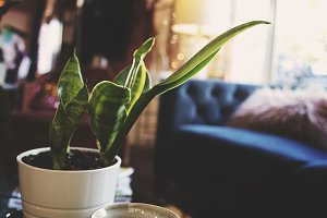 Snake Plant in a Cozy Living Room