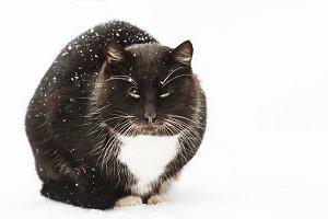 winter black cat with white mustache