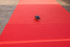 domestic pigeon on red carpet