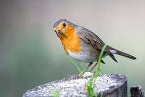 Erithacus rubecula or  Robin perched