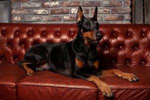 Doberman Pinscher. Dog on a brown ba