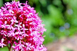 Pink Flower Centranthus ruber
