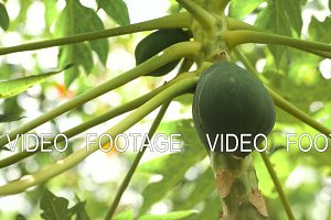 Papaya tree with fruits.