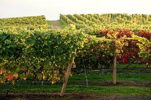 Rows of Vineyard Grape in Fall