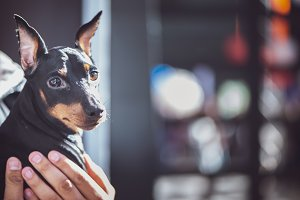 Exhibition of dogs, Miniature Pinsch