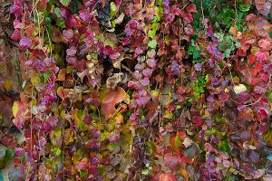 Red, green and purple leaves texture