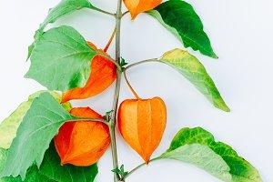 Orange Flower of physalis alkekengi