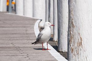 Australian silver gull, seagull on