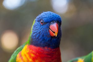 Rainbow lorikeet parrot bird close