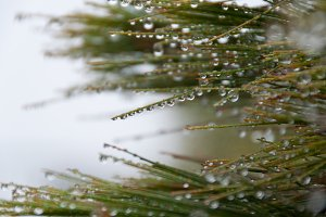Close up of pine tree branch covered