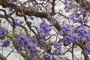 Purple Jacaranda tree flowers