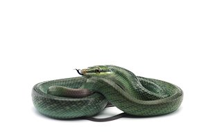 The red-tailed green ratsnake