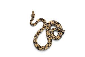 The viper boa isolated