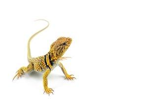 The common collared lizard