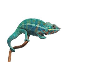 Blue lizard Panther chameleon
