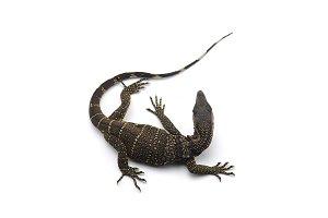The black roughneck monitor lizard