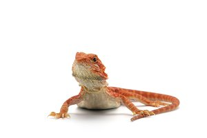 Bearded Dragon isolated on white