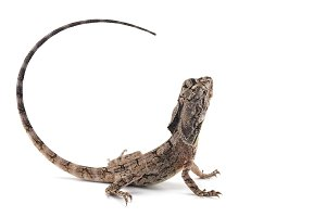 Trilled lizard isolated on white