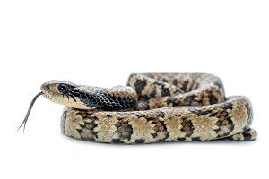 False water cobra snake i