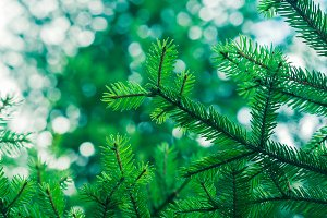 Green fir tree winter christmas