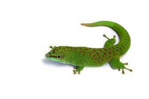 Madagascar gecko isolated on white