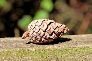 Pine cone Pinecone