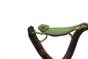 Veiled Chameleon isolated