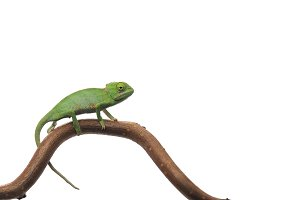 Veiled Chameleon isolated