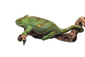 The Parson's chameleon