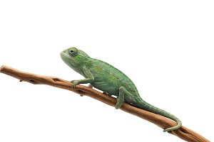 The Carpet Chameleon
