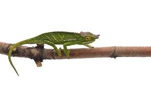 Wills' chameleon