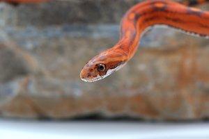 Scaleless corn snake isolated