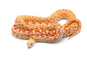 Gopher Snake albino isolated