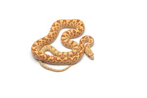 Gopher Snake albino isolated