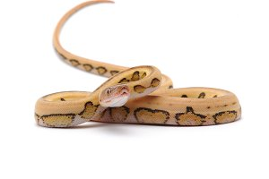 Reticulated python isolated