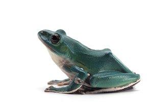 blue Giant flying frog isolated
