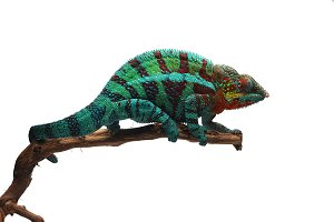 Panther chameleon isolated on white