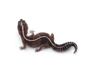 African fat tail gecko isolated