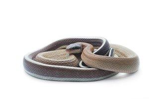 Taiwan beauty rat snake isolated