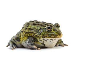 The African bullfrog isolated
