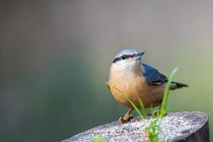 Sitta europaea or trepador azul perc