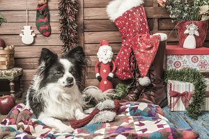 Papillon dog Christmas cards
