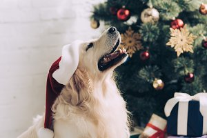 cute golden retriever in santa hat s