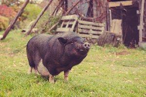 big black a pig in the yard