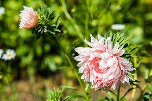 Beautiful Flower of pink garden